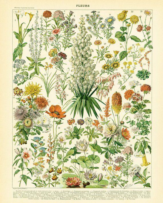 1897 Original Antique Flower Chart Print Vintage Flowers Wall Art Home Decor Antique Botanical Print Botanical Illustration Botanical Drawings