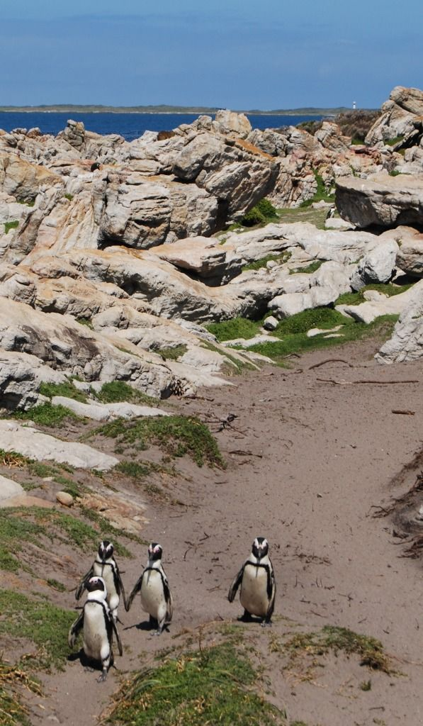 Visit the Jackass Penguins in Bettys Bay - only 10 minutes drive from Pringle Bay.