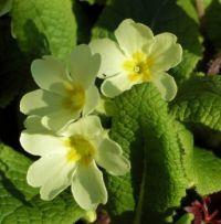 primroses (sleutelbloemen)