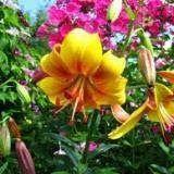 Садоводство : Азиатские гибриды лилии