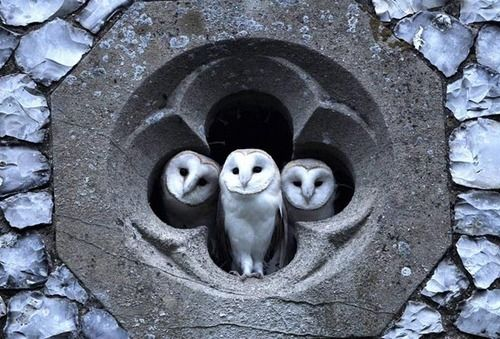 GRAYSCALE at its best: Richard Brooks photographed the three young Barn Owls looking out of the quatrefoil of a Norfolk, UK church one evening in July after staking out the site most evenings over a three week period.