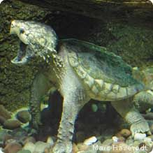 Alligator snapping turtle~status threatened due to exotic pet trade and habitat destruction