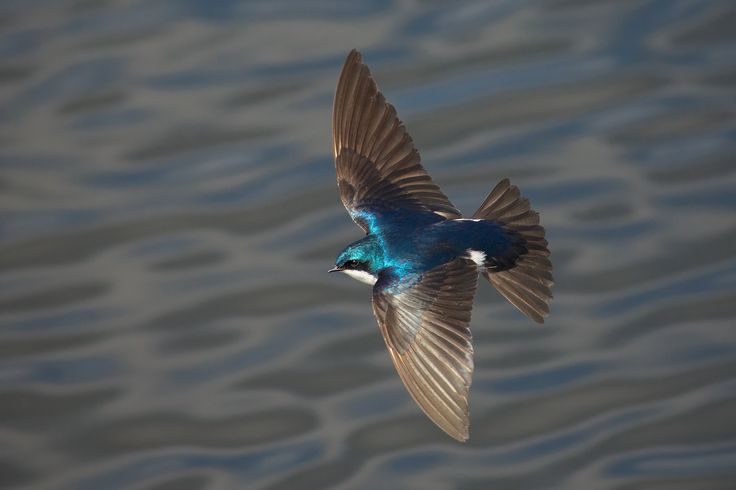 Skimming low over the surface of a lake, catching insects, the vivid blue plumage of a male Tree Swallow pops in the afternoon sun. Southwestern British Columbia, Canada.