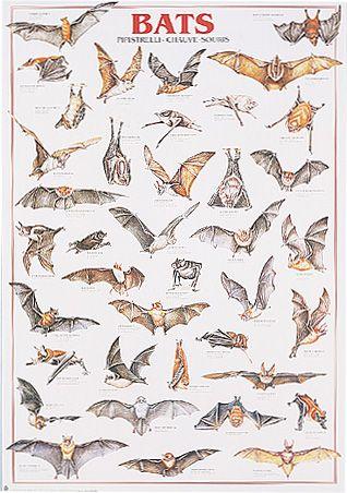 bat-species-bats