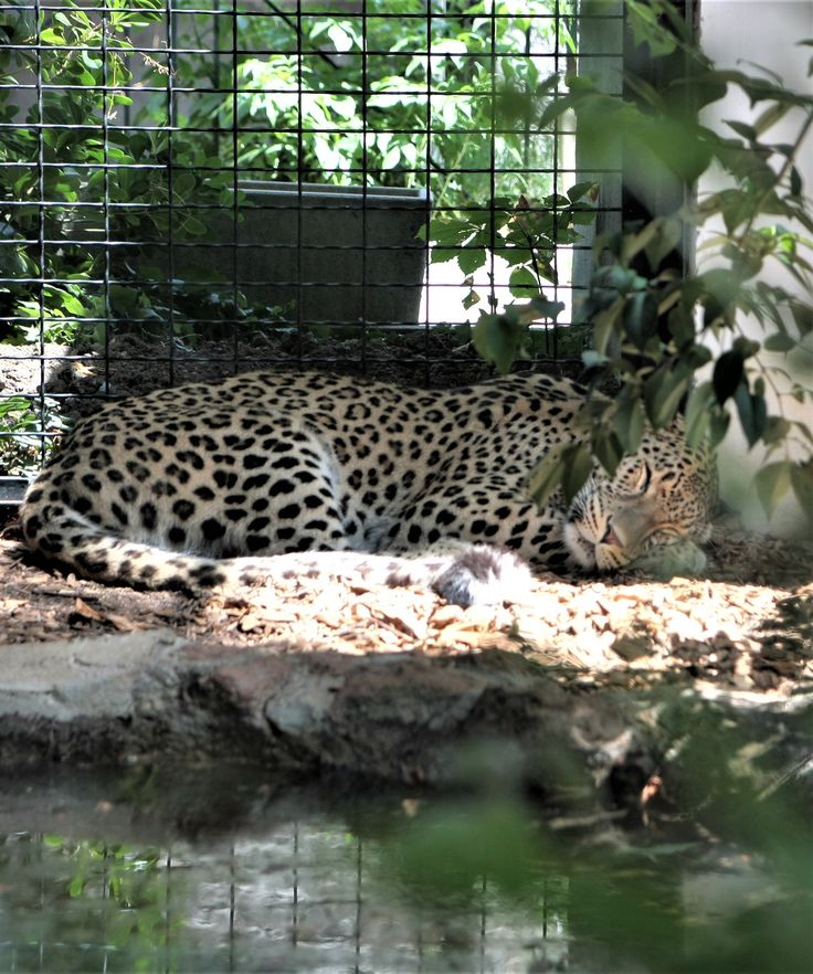 What to see in Rome? the big cats @bioparco!