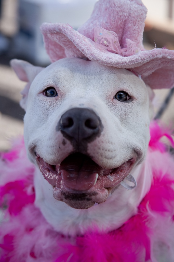 Pin on Zoey the pit bull spokesdog