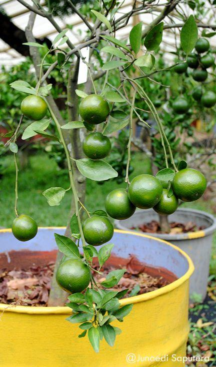 Siam Citrus (Citrus reticulata) Collection Taman Buah Mekarsari, Bogor, Jawa Barat.