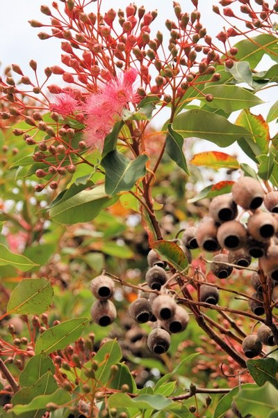 How beautiful are these iconic gumnuts? Our friends at Rainforest Rescue are busy collecting all sorts of plant and tree seeds like these during the dry season that will eventually grow into a new habitat for endangered and essential Rainforest creatures. Koskela supports Rainforest Rescue who buy back and revive essential wildlife land corridors in the Daintree Rainforest in Northern Queensland.