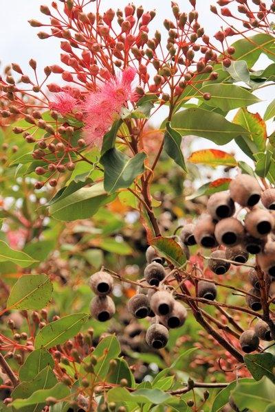 gum nut trees