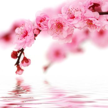 Google Image Result for http://southerngardenscents.com/images/cherry_blossom.jpg