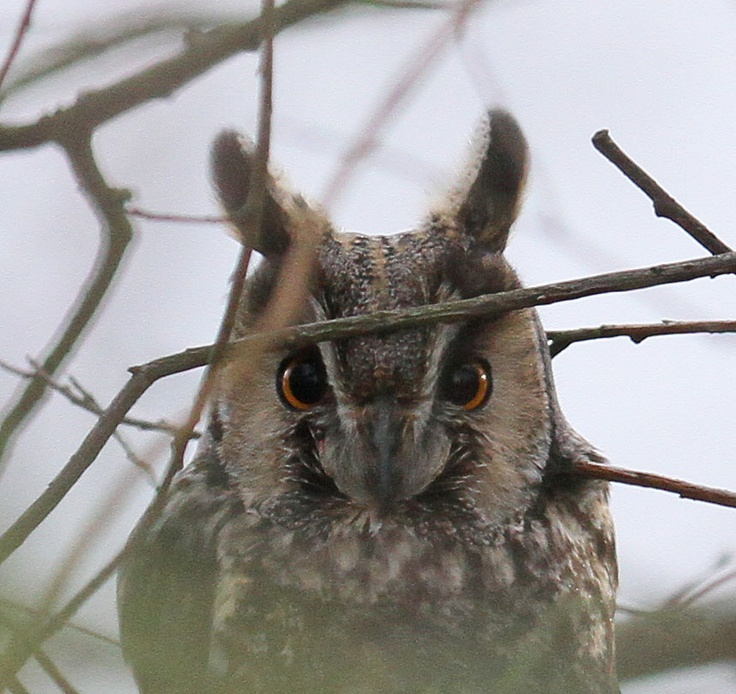 Long Eared Owl by Simon and Karen Spavin: What a great shot! The erect ear tufts make it appear more imposing to other owls!  #Owl #Long_Earred_Owl #sandkspavin_blogspot