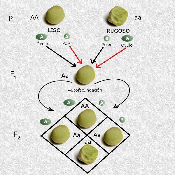 2.ª ley de Mendel: Ley de la segregación de los caracteres en la segunda generación filial.Mendel obtuvo esta ley al cruzar diferentes variedades de individuos heterocigotos (diploides con dos variantes alélicas del mismo gen: Aa) y pudo observar en sus experimentos que obtenía muchos guisantes con características de piel amarilla y otros (menos) con características de piel verde, comprobó que la proporción era de 3/4 de color amarilla y 1/4 de color verde (3:1).
