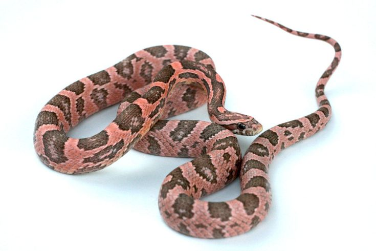 Coral Ghost Corn Snake