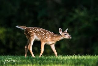 """Seeing Through God's Eyes:  """"Wait for Me!""""  Judy Royal Glenn Photography  I enjoyed watching a small heard of does and their fawns while at Berry College. The fawns enjoyed playing on the green grass. I look forward to seeing them again in the spring.  Location: Rome, Georgia"""