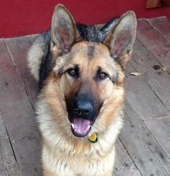 Chance is an adoptable German Shepherd Dog Dog in Denver, CO. Chance is a sweet 2 yr old boy that has lots of energy to burn with the right family. He is good with other dogs and would love to share h...