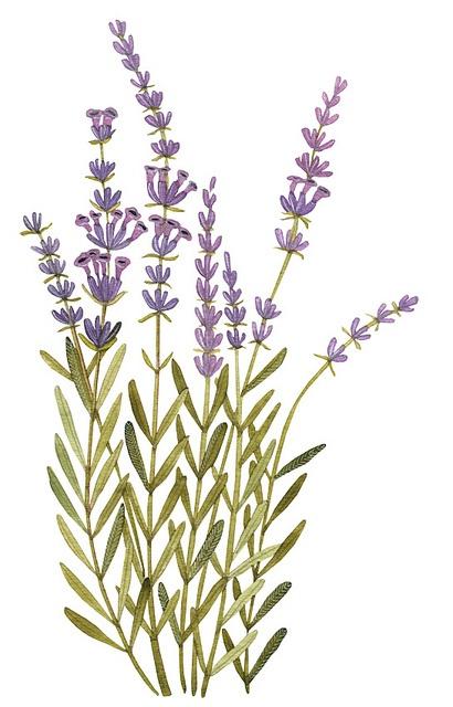 Lavender by Geninne D Zlatkis