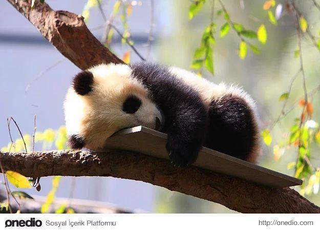Bebek pandalar çok küçük olur ve neredeyse bir bardak çay ağırlığındadırlar.