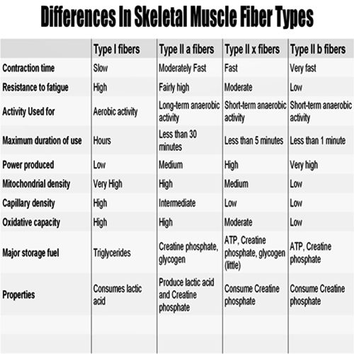 Difference In Muscle Fiber Types