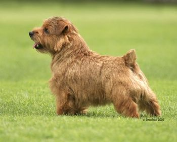 Coco, a great Norfolk Terrier