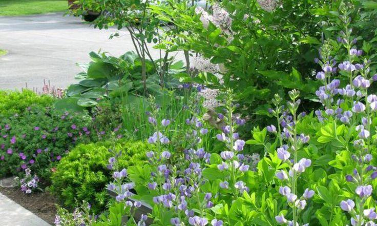 Baptisia in my spring garden