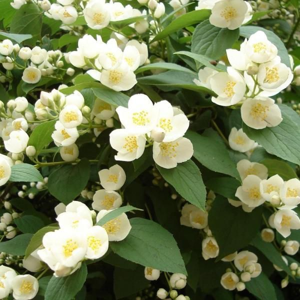 Cómo cuidar una planta de jazmín. ¿Quieres algunos consejos para cuidar una planta de jazmín? Tienes que mimarla y dedicarle tiempo para que crezca sana y te pueda ofrecer su aroma y sus bellas flores. A continuación, en unComo te dam...
