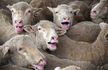 4,000 Australian sheep have died of severe heat stress within one day on a live export ship destined for the Middle East. The mass deaths at sea in September last year constitute the worst live export shipping disaster in recent history....PLEASE SIGN PETITION