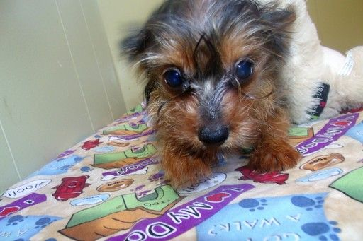 Yorkshire Terrier puppy for sale in PATERSON, NJ. ADN