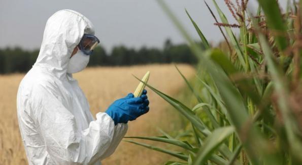 OGM: Le maïs de Monsanto va-t-il de nouveau être autorisé en France ? Le maïs de Monsanto reste interdit en France Pour autant, cette décision n'engendre pas le retour à la culture du maïs transgénique sur le territoire. En septembre dernier, la France avait demandé à la Commission européenne de l'exclure des neufs maïs en cours d'autorisation ou déjà autorisés au niveau européen. Dans son communiqué de presse, le ministère de l'agriculture, de l'agroalimentaire et de la forêt ...