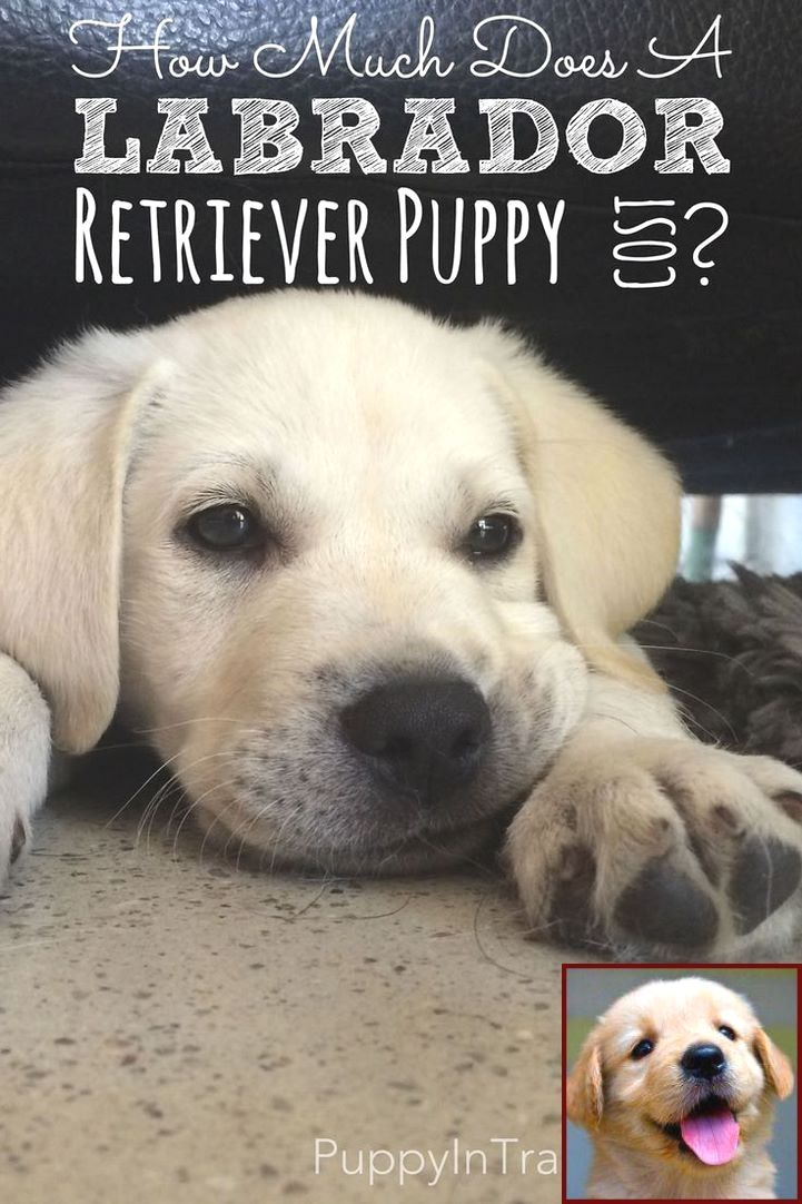 1 Have Dog Behavior Problems Learn About Dog Behavior Paws On You And Clicker Training Dogs Labrador Retriever Puppies Labrador Retriever Labrador