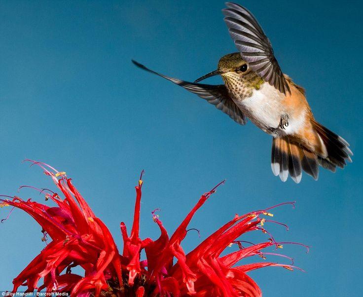 Photo by Roy HancliffHumming Birds, Hummingbirds Photos, Roy Hancliff, Hum Birds, Mid Flight Photographers, Hummingbirds Happy, Hummingbirds Beautiful, Hummingbirds Obsession, Animal Birds