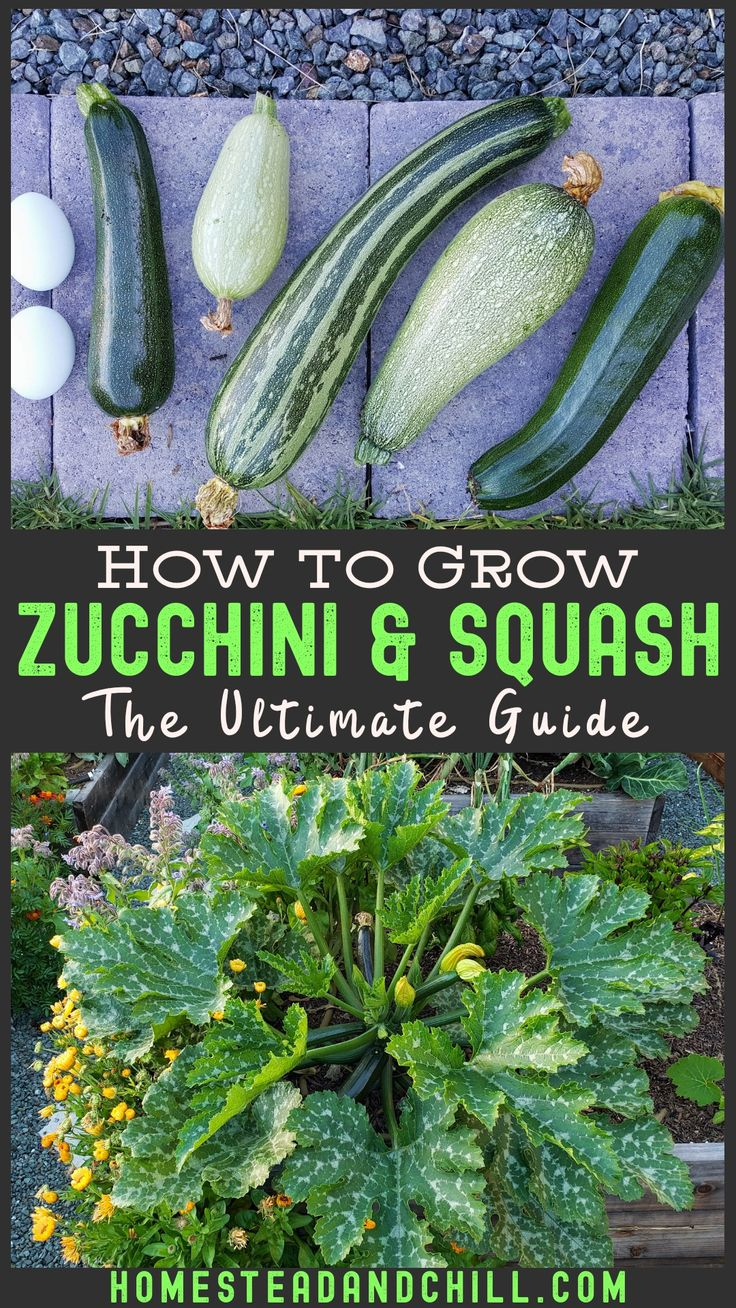 How To Grow Zucchini Summer Squash Planting Pests Pollination More Homestead And Chill Growing Zucchini Zucchini Plants Growing Vegetables Backyard garden how to zucchini