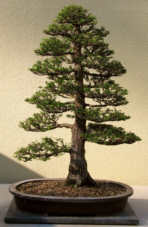 how to tell a cypress tree from a cedar tree