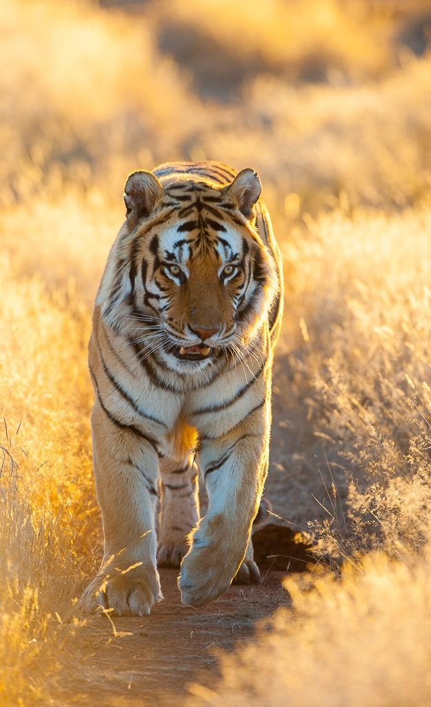 Tiger in the Golden light by johan barnard on 500px