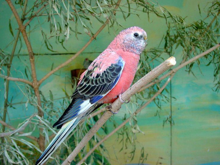 The Unique Bourkes Parakeet