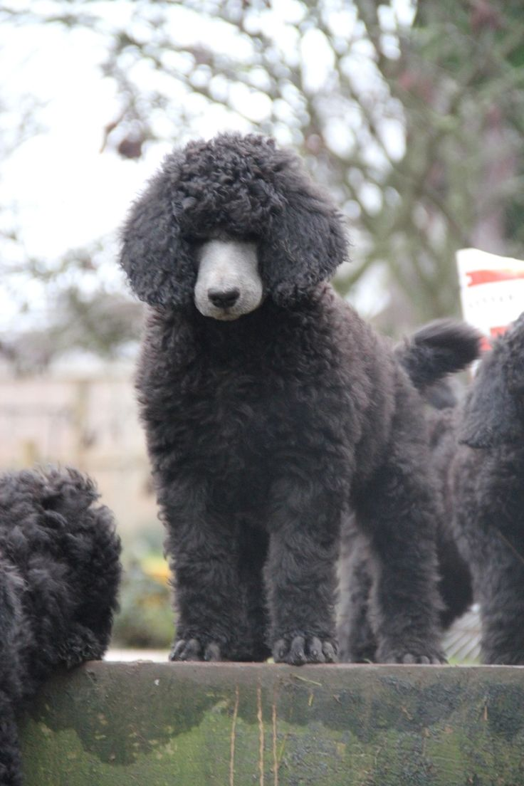 Standard poodle haircuts or of unless soft haircuts standard poodle -  Haircuts Poodle Forum Standard Poodle Toy Poodle Itzapromise Taji Dime