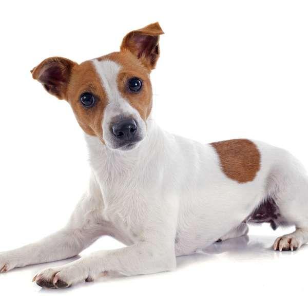 Fox Paulistinha ou Jack Russell Terrier? Conheça diferenças