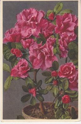 Thor E Gyger Postcard - 1526 Azalea indica L hybrida - Garten Azalee - Azalée - Azalea