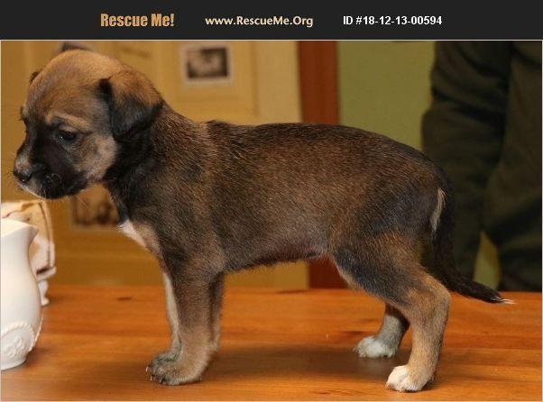 Adopt 18121300594 Beagle Rescue Joliet Il Dog Beagle
