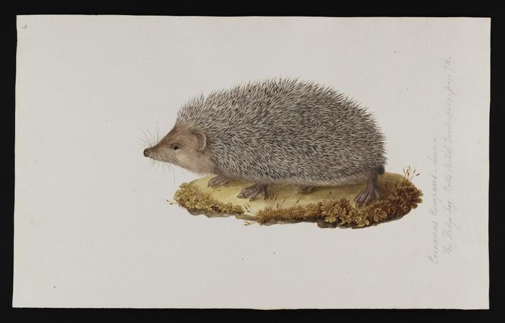 "antique hedgehog | Hedgehog IllustrationRare book, ""Drawings of Animals of Greece and the ..."