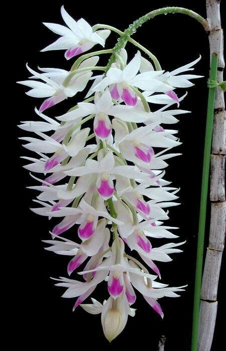 Dendrobium amethystoglossum   É uma espécie de orquídea nativa do Filipinas . É uma orquídea de médio a grande, que prefere um clima quente. Com hábitos epífitas com com taallos, ereto ou em arco, enquanto juncos, muitas vezes flexíveis, caneladas hastes tendo várias folhas, oval, verde pálido, de folha caduca, brilhante, couro, e curvada para cima. Ela floresce no inverno em uma inflorescência , suspensão, axilar 15 cm de comprimento, densamente coberto com flores perfumadas 15-20 cluster,