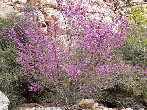 Imagine a shrub that rarely gets taller than 8 feet, blooms prolifically in the spring, has small leaves (no need to rake!), provides nice seed pods in winter for the birds to feast upon, and which fertilizes the soil for it's neighbors. Such a deal! If you buy Redbud in large garden stores, make sure they are our native Western Redbud (Cercis occidentalis), not Eastern Redbud (Cercis canadensis).