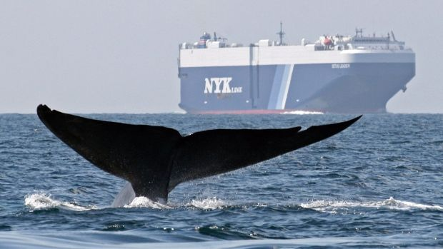 A blue whale is shown near a cargo ship off the California coast. A new system from the National Oceanic and Atmospheric Administration hopes to better predict blue whales' migration patterns to help prevent ships from colliding with the mammals.