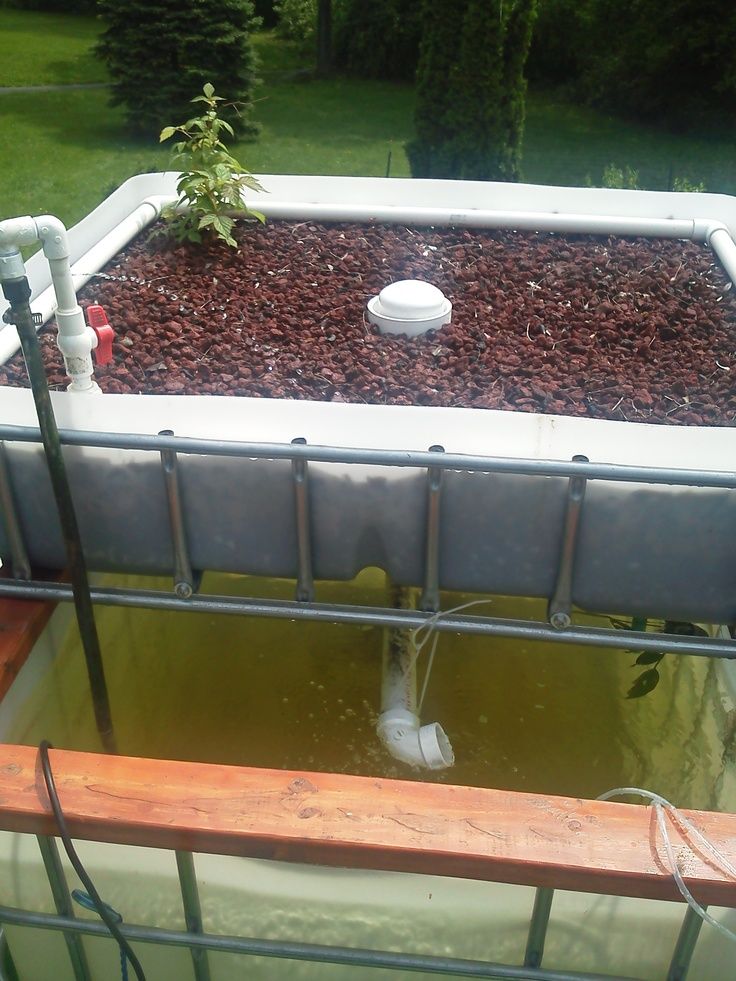 70 best aquaponics images on pinterest aquaponics for Fish tank hydroponic garden