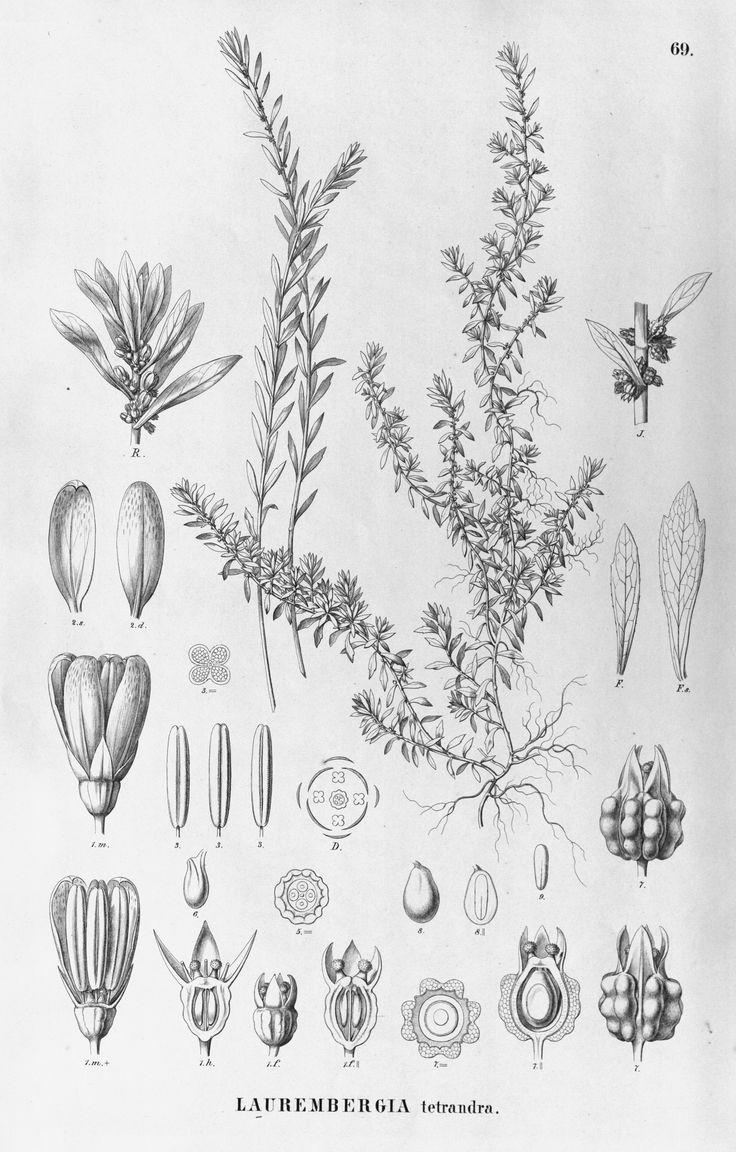 http://botanicalillustrations.org/ILLUSTRATIONS_full_size/13105.jpg