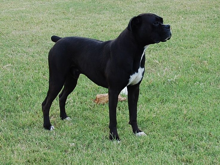 Black Boxer Dogs | http://www.blackchampionboxers.com/Isabe…