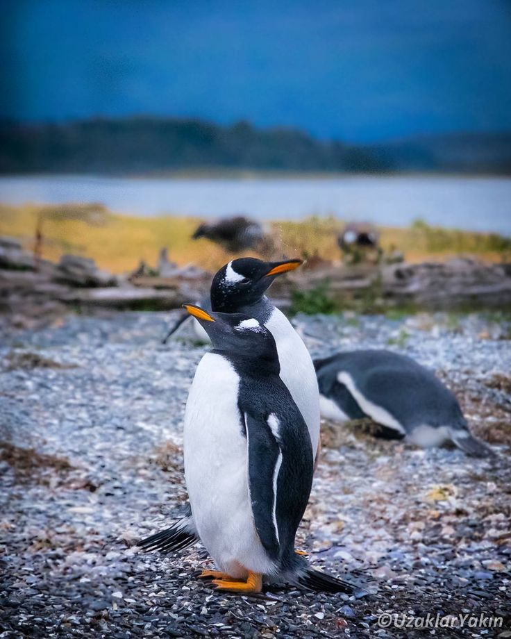Dünyanın sonundaki şehir Ushuaia'da Beagle Kanalı'nda yaptığımız turun son noktası Martillo adasında iki tip penguen yaşıyor. Birisi en yaygın cins olan Magellan diğeri de burnu ve ayakları turuncu olan Gentoo cinsi. #martillo #ushuaia #magellan #gentoo #penguins #penguen #arjantin #argentina #uzaklaryakin