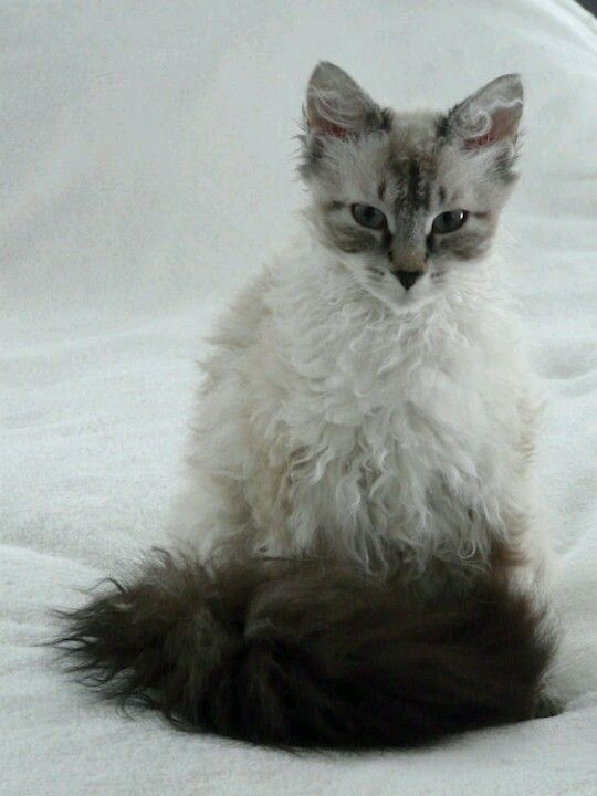 LaPerm - Most Affectionate Cat Breeds