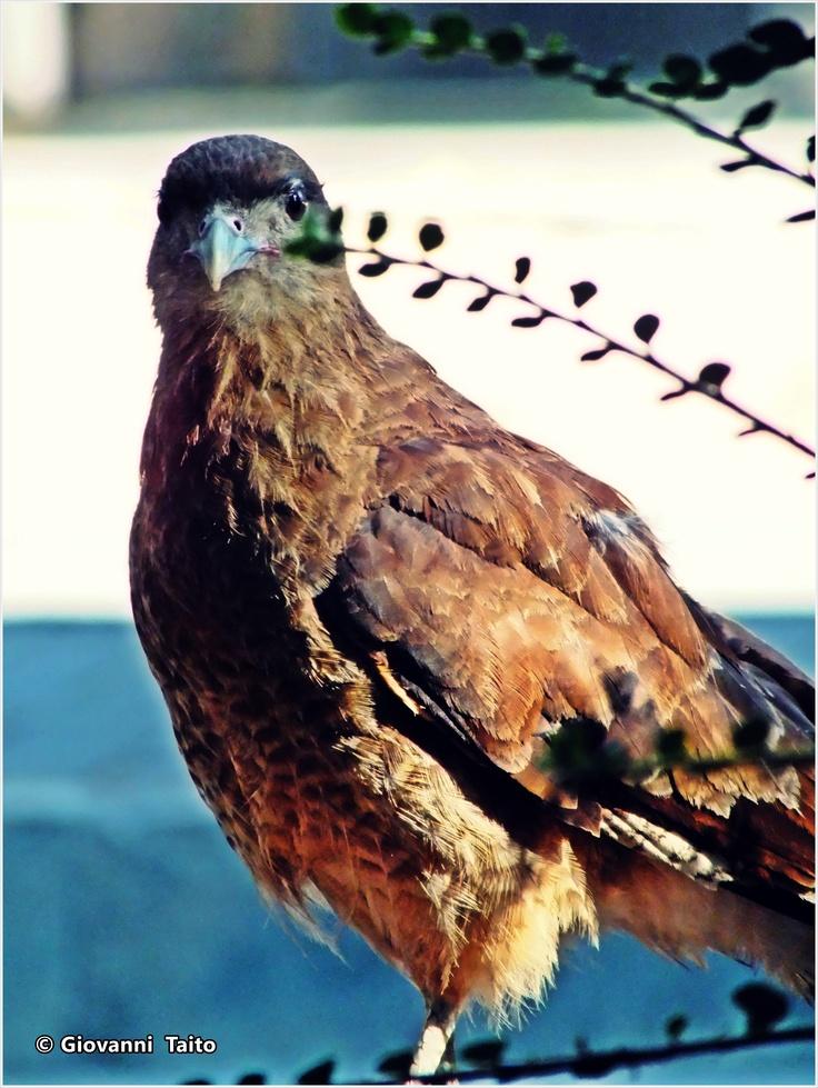 Pájaro en Plaza de Armas, Temuco, Chile.