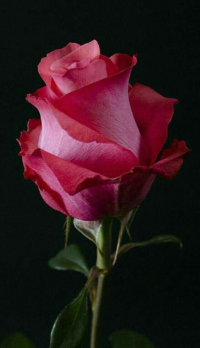 25+ trending Single Rose Tattoos ideas on Pinterest ... - photo#38