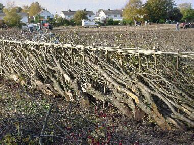 Hedge laying is a country skill typically found in England and is used to achieve a number of goals ... read more!